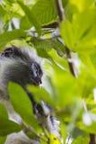 Gefährdeter roter Colobusaffe Sansibars (Procolobus-kirkii), Joza Lizenzfreies Stockfoto