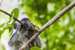 Gefährdeter roter Colobusaffe Sansibars (Procolobus-kirkii), Joza Stockfotos