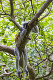 Gefährdeter roter Colobusaffe Sansibars (Procolobus-kirkii), Joza Lizenzfreie Stockfotografie