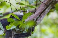 Gefährdeter roter Colobusaffe Sansibars (Procolobus-kirkii), Joza Lizenzfreie Stockbilder