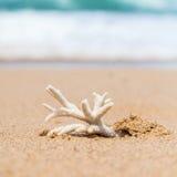 Gefährdeter Staghorn Coral Skeleton Washed Up auf Strand in Austral Lizenzfreie Stockfotografie