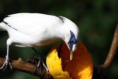Gefährdeter Vogel --- Bali-Star Stockfoto