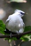 Gefährdeter Vogel --- Bali-Star Lizenzfreie Stockbilder