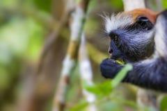 Gefährdetes Colobusaffe Procolobus-kirkii Sansibars rotes, Joza Stockfotos
