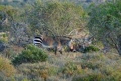 Gefährdetes Kap-Bergzebra Equuszebra, Addo Elephant National Park, Südafrika Lizenzfreie Stockfotos