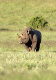 Gefährdetes schwarzes Nashorn in Südafrika Stockfotos