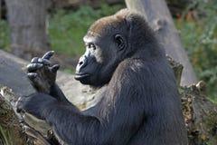 Gefährlicher Gorilla Stockfotos