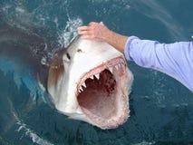 Gefährlicher großer weißer Haifisch lizenzfreie stockfotos
