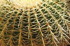 Gefährlicher Kaktus mit den Dornen sehr dicht Lizenzfreie Stockfotografie