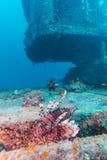 Gefährlicher Lion Fish nahe Schiffbruch lizenzfreie stockbilder