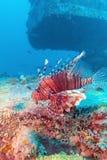 Gefährlicher Lion Fish nahe Schiffbruch stockfotografie