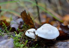 Gefährlicher tödlicher giftiger Pilz für menschliche Gesundheit und das Leben lizenzfreie stockbilder
