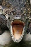 Gefährliches Krokodil Stockbild