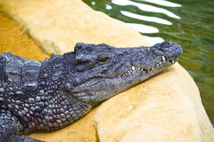 Gefährliches Krokodil mit geschlossenem Mund stockbilder