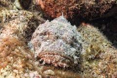 Gefährliches Steinfischporträt Lizenzfreie Stockfotos