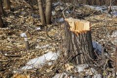 Gefällte Bäume Stumpf und Holzspäne Das Konzept der schlechten Ökologie Verringern der Bäume stockfotografie