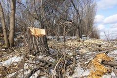 Gefällte Bäume Stumpf und Holzspäne Das Konzept der schlechten Ökologie Verringern der Bäume lizenzfreies stockfoto