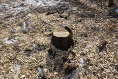 Gefällte Bäume Stumpf und Holzspäne Das Konzept der schlechten Ökologie Verringern der Bäume lizenzfreie stockbilder