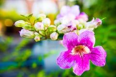 Gefärbtes Purpur blüht Morgen Stockfoto