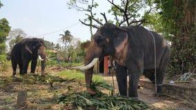 Gef?hrdete indische Elefanten, die Gras in einem Schongebiet essen stockfotografie