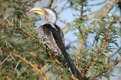 Gefactureerd geel hornbill royalty-vrije stock fotografie
