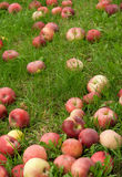 Gefallene Äpfel im grünen Gras Lizenzfreie Stockbilder