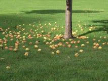 Gefallene Äpfel unter Baum Stockfotografie