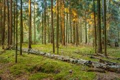 Gefallene Bäume in der grünen Koniferenwaldreserve Lizenzfreie Stockfotografie