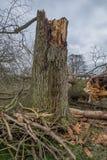 Gefallene Bäume im Wald nach einem Sturm Lizenzfreie Stockbilder