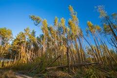 Gefallene Bäume in Koniferen-Forest After Strong Hurricane Wind lizenzfreie stockfotografie