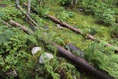 Gefallene Bäume nahe Langfoss in Norwegen lizenzfreie stockbilder
