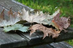 Gefallene Blätter auf einem hölzernen Picknicktisch Stockfotografie