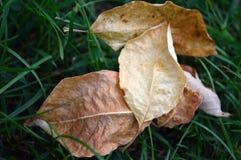 Gefallene Blätter auf Gras Stockfoto