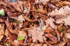 Gefallene Blätter der Kastanie, Ahorn, Eiche, Akazie Brown, Rot, Orange und gren Autumn Leaves Background Stockfotos