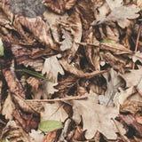 Gefallene Blätter der Kastanie, Ahorn, Eiche, Akazie Brown, Rot, Orange und gren Autumn Leaves Background Weiche Farben Stockfotos