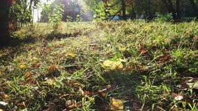 gefallene Blätter, die in den Wind belichtet durch Sonne auf städtischem Rasen beeinflussen stock video footage