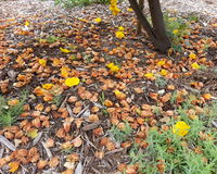 Gefallene Blumenblätter von einem Flanell Bush stockfotografie
