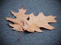 Gefallene Eichen-Blätter Stockbild
