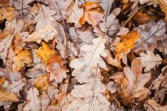 Gefallene Eichenblätter lagen auf dem Boden im Park stockfotografie