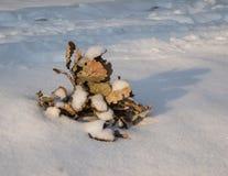 Gefallene Eichenniederlassung im Schnee Stockfotos