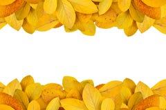 Gefallene goldene gelbe Blätter vom Wald, der auf weißem Hintergrund für ändernde Farbe des Herbstes lokalisiert wird, entwerfen  lizenzfreies stockfoto