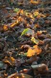Gefallene Herbstblätter Lizenzfreie Stockfotos
