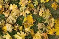 Gefallene Herbstblätter Beschneidungspfad eingeschlossen gelbe Farbe Stockfoto