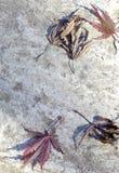 Gefallene japanische Ahornblätter Stockfotos