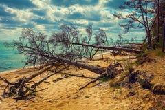 Gefallene Kiefer auf dem Strand stockfotos