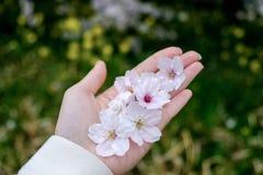 Gefallene Kirschblüte auf einer Mädchen ` s Hand an Park Kumagaya Arakawa Ryokuchi in Kumagaya, Saitama, Japan Stockbild