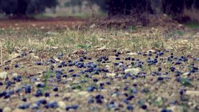 Gefallene Oliven nähern sich Olivenbäumen stock video footage