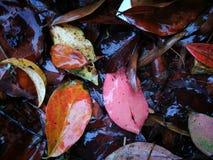 Gefallene Rotblätter, die auf nassem Boden liegen Lizenzfreies Stockbild