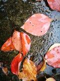 Gefallene Rotblätter, die auf nassem Boden liegen Lizenzfreie Stockbilder