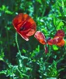 Gefallene rote Blumenblätter einer Flandern-Mohnblume im Frühjahr Stockfotografie